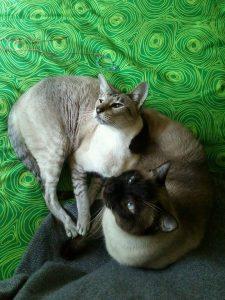 gatti siamese by marcella cecconi x www.qui.press